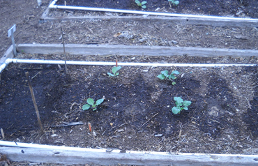 Cabbage and broccoli plants